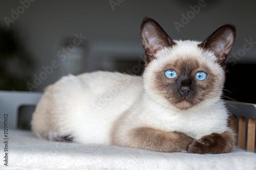 Fotografía Pet animal cute kitten siamese