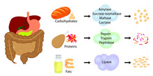 Enzymes Breaking Down Food Int...