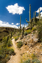 Saguaro Cactus And Spring Dese...