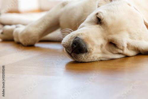 Weißer Labrador Welpe schläft auf dem Holzboden und träumt von leckeren Würstchen und liegt dabei auf einer weichen hellen Decke Canvas Print