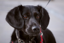 Portrait Of A Black Cute Dog In French Style. Her Look Is Thoughtful, And Her Ears Look Like A Woman's...