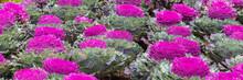 Closeup Of Purple Ornamental C...