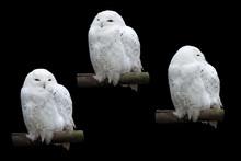 Polar Snowy Owl, Bubo Scandiac...