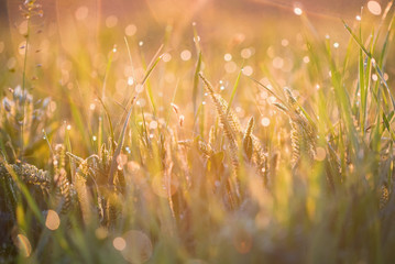 Beautiful background with morning dew on grass close.
