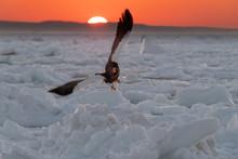 Steller's Sea Eagle Flying Abo...