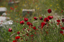 Red Poppy Seed Flowers