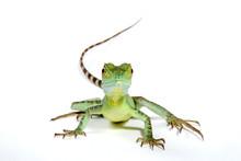 Jesus Christ Lizard / Stirnlappenbasilisk (Basiliscus Plumifrons)