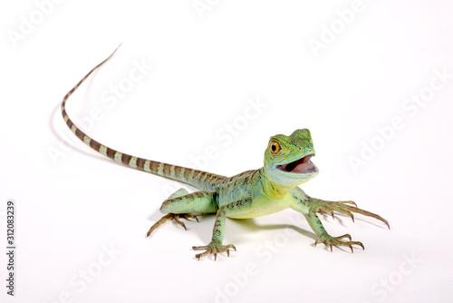 Fotografie, Obraz Jesus Christ lizard / Stirnlappenbasilisk (Basiliscus plumifrons)