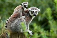 Lemur Catta Baby On The Mother...