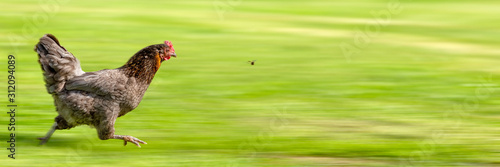 Foto Free-range Hen Chasing a Flying Insect