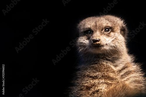 Obraz na plátně  closeup of a meerkat portrait