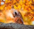 Leinwandbild Motiv cute portrait with beautiful fluffy red squirrel sitting in autumn Park on a tree oak with bright Golden foliage