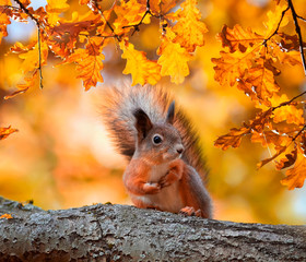 cute portrait with beautiful fluffy red squirrel sitting in autumn Park on a tree oak with bright Golden foliage