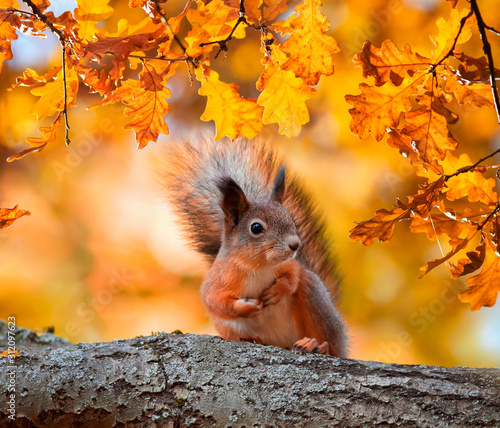 Fototapeta cute portrait with beautiful fluffy red squirrel sitting in autumn Park on a tree oak with bright Golden foliage obraz