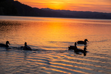 Silhouette Of Ducks On A Lake ...