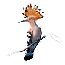 Beautiful Eurasian Hoopoe (Upupa Epops), On A Branch Close-up On A White Background
