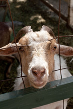 Liver Colored Goat Head Peering Through Wire Fence