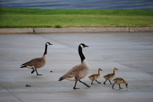 Canada Canadian Geese