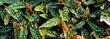 Blätter Begonia maculata