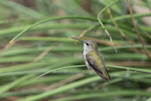 White Eared Hummingbird Perched