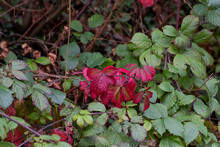 Autumn Coloured Bramble Bush L...