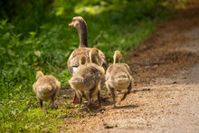 Duck Family Walking Away From ...