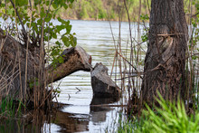 A Tree Cut Down By A Beaver