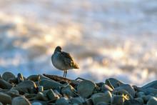 Marine Willet Beach Bird Searc...