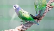 Blue-headed Parrot (Pionus Men...