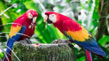 A Couple Of Scarlett Macaw Bir...