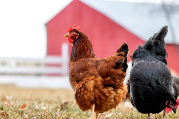 A Rhode Island Red hen chicken on a farm.