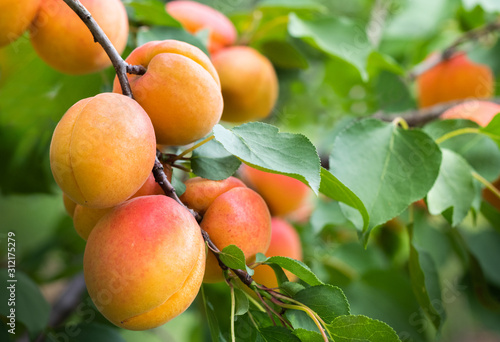 Fototapeta Ripe apricots in the orchard