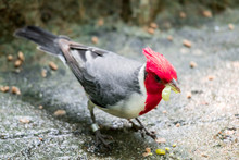 Hawaiian Red-crested Cardinal ...