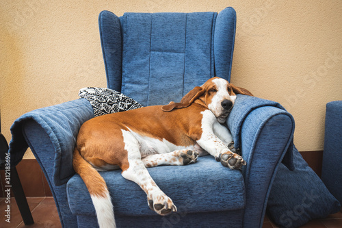 Photo Dog sleeping soundly resting on blue armchair or sofa