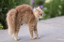 Frightened Cat Defends Itself And Attacking, The Ginger Kitten Arched His Back In Fear Of Dog,animal Life, Pets Walking Outdoors