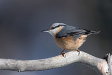 The Beautiful Nuthatch (Sitta ...