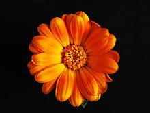 Calendula Orange Flower Isolated On Black Background.