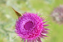 Close Up Of A Musk Thistle Flower From Above, With A Moth Feeding On The Pollen