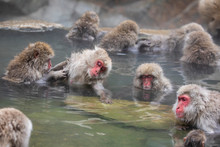 The Japanese Macaque, Also Kno...