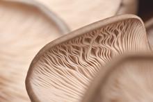 Close Up Of Mushroom Gills. Ab...