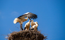 Flying Exercise Of Young Storks