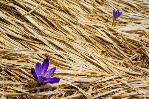 Photo Flowers in the Apennines (Italy)