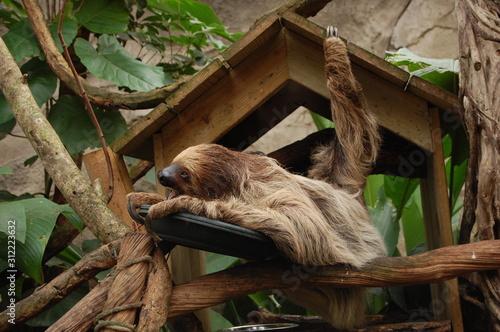 Obraz Portrait d'un paresseux - fototapety do salonu