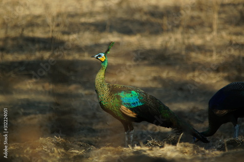 The green peafowl (Pavo muticus) is a peacock species found in the tropical forests of Southeast Asia Fototapet