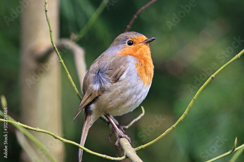 Photo robin perched on a branch
