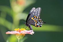Butterfly 2019-144 / Spicebush Swallowtail (Papilio Troilus)