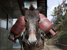 A Donkey Loaded With Gas Cylinders. Donkey Caravans Transport Goods To Areas Where There Are No Highways. Nepal.