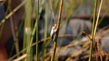 Tiny Reed Frogs Seen During A ...