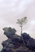 Lone Tree Growing Atop A Rock ...