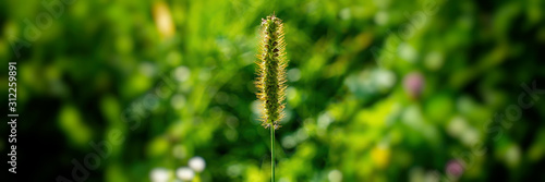 Fototapeta  Spikelet of grass on a blurred green background.